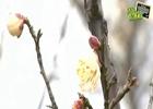 太湖梅花节含羞登场 苏城最佳赏梅地图出炉